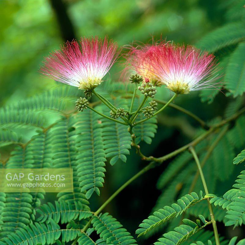 Albizia Julibrissin F Rosea Silk Tree A Small With Fern Like