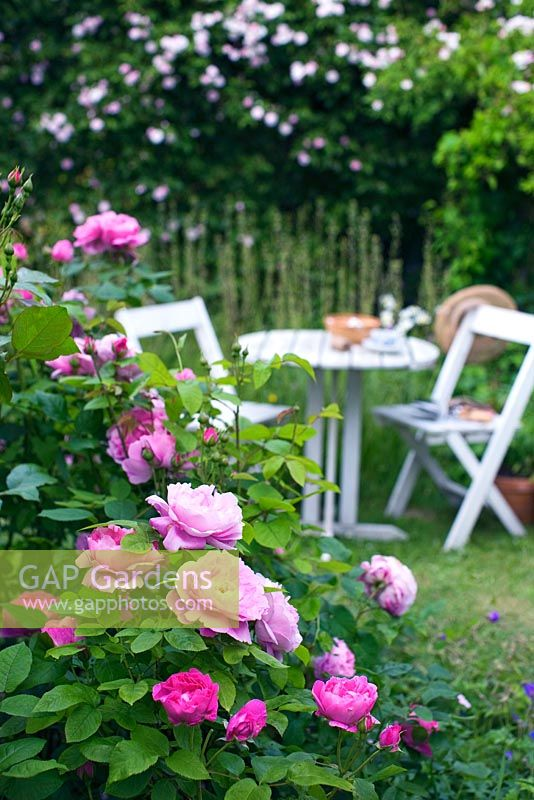 White wooden table and chairs in rose garden with Rosa 'Paul's Himalayan Musk'