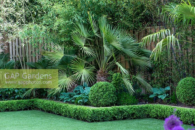 Trachycarpus fortunei, Chusan Palm, in box edged bed, backed by black bamboo, and underplanted with hostas.