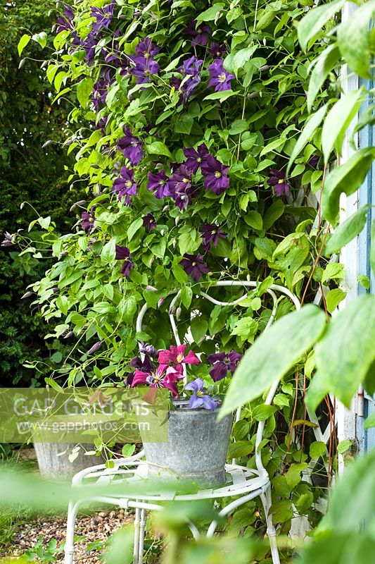 Clematis 'Etoile Violette' with cut clematis flowers in bucket on chair