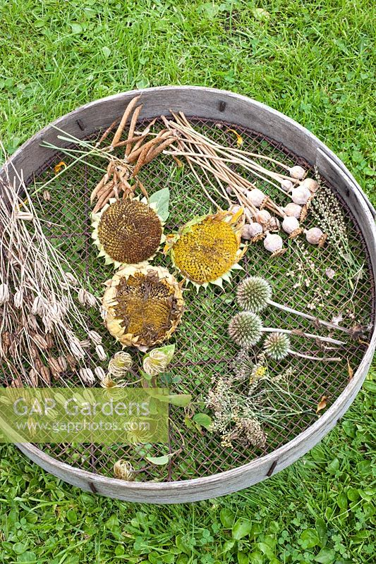 Selection of different seedheads drying on a sieve including  sunflowers, aquilegias and papaver