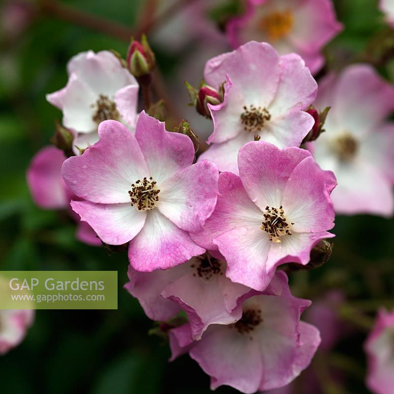 Gap gardens rosa ballerina a dainty hybrid musk rose with small rosa ballerina a dainty hybrid musk rose with small pink white flowers it can mightylinksfo