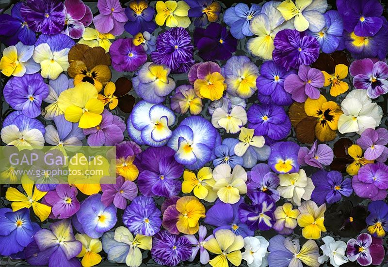 Hardy perennial violas come in a wide range of beautiful colours, sizes and patterns.
