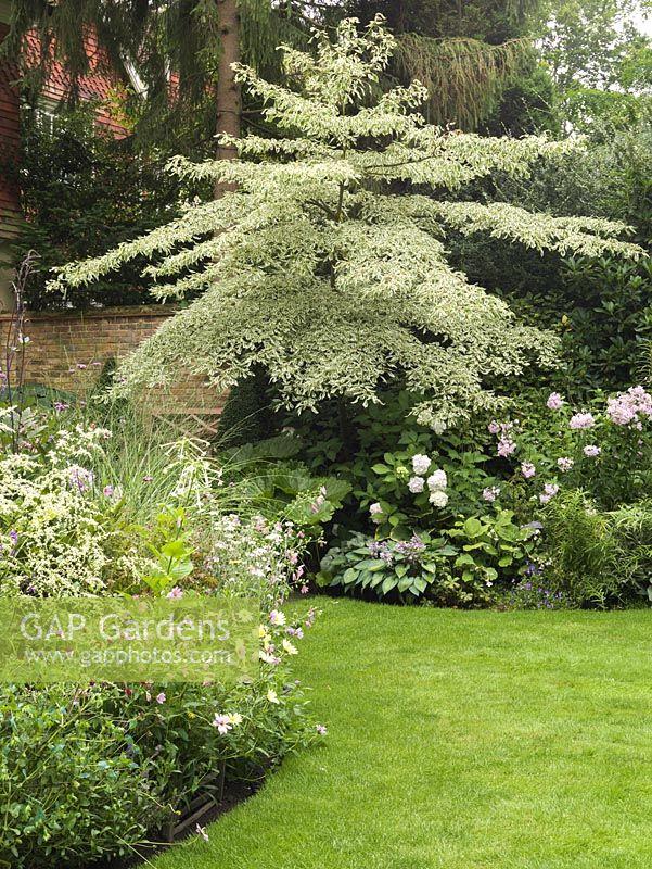 gap gardens cornus controversa variegata in bed with. Black Bedroom Furniture Sets. Home Design Ideas