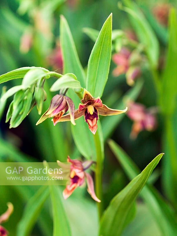 Epipactis gigantea, chatterbox orchid - named because the lip nods in the breeze. A hardy ground orchid which thrives in humus rich, moist soil in dappled shade. Flowers in summer. 30cm tall.