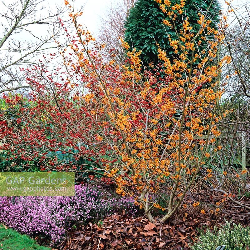 Hamamelis intermedia Diane - red with H. intermedia Vesna - golden ginger above heather - Erica carnea King George