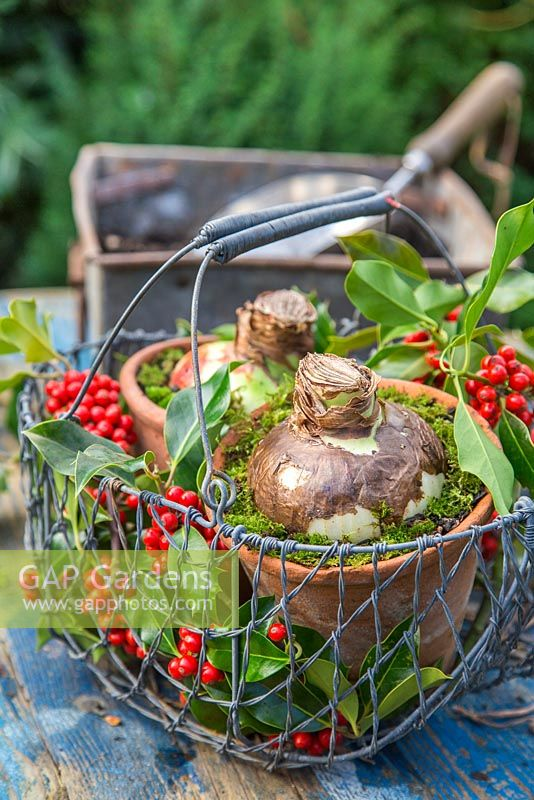 A basket of Hippeastrum bulbs as a gift, decorated with Ilex aquifolium