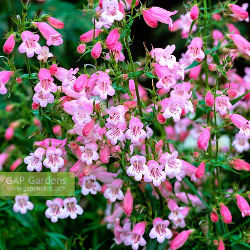 Penstemon Pink Dragon
