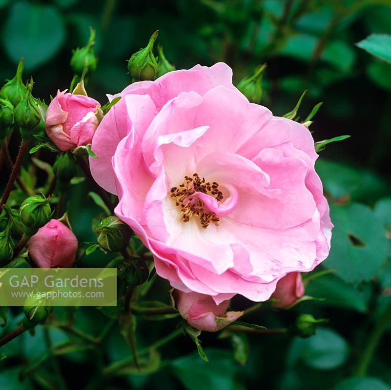 Rosa Bonica, a pink modern shrub rose with pretty, many petalled, cupped lightly fragrant flowers.