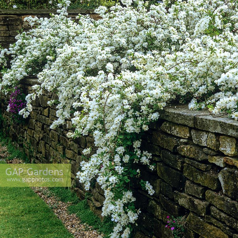Gap Gardens Exochorda Macrantha The Bride A Spring Flowering