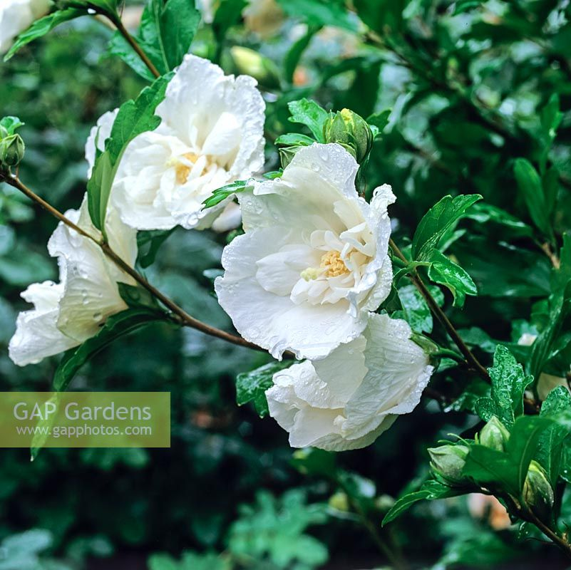 Gap gardens hibiscus syriacus white chiffon an evergreen shrub hibiscus syriacus white chiffon an evergreen shrub with neat semi double pure mightylinksfo Image collections