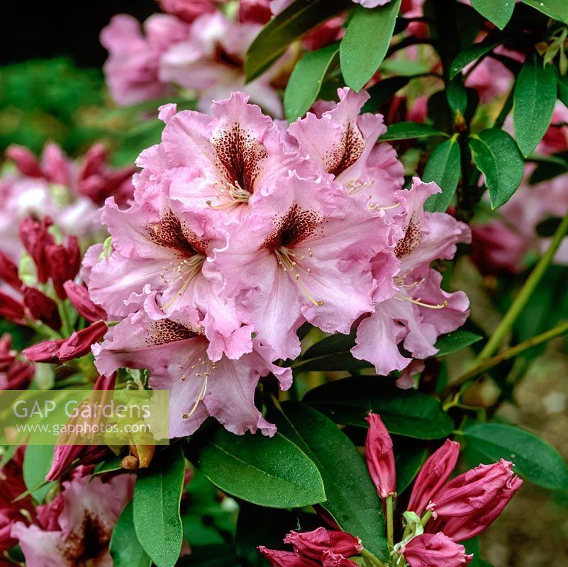 Gap gardens rhododendron furnivals daughter with clusters of deep rhododendron furnivals daughter with clusters of deep pink flowers in spring mightylinksfo