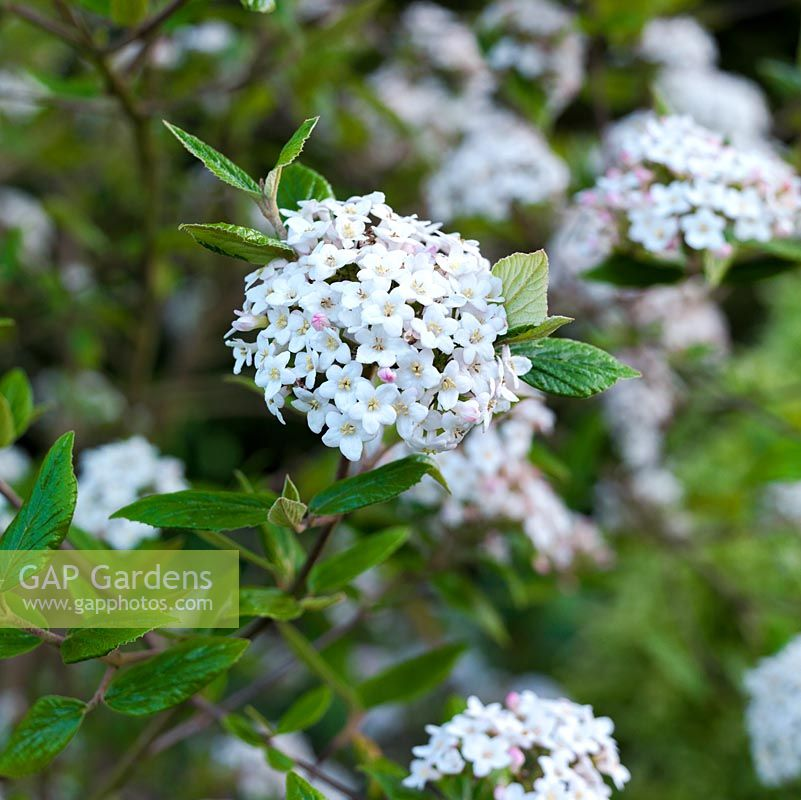 Gap gardens viburnum x burkwoodii an evergreen shrub with viburnum x burkwoodii an evergreen shrub with fragrant white flowers in domed heads mightylinksfo