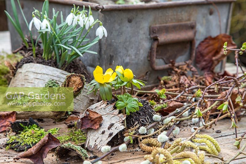 Materials and plants to create miniature winter garden. Eranthis - Winter Aconite, Galanthus - Snowdrops, Birch bark, Moss, Viburnum foliage, Alder catkins - Alnus glutinosa and Salix - Pussy Willow