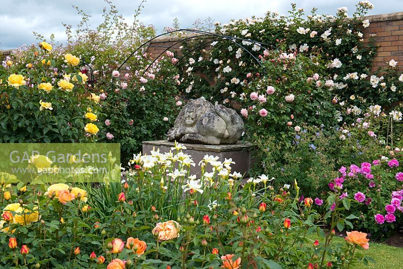 GAP Gardens David Austin Roses The Lion Garden where shrub