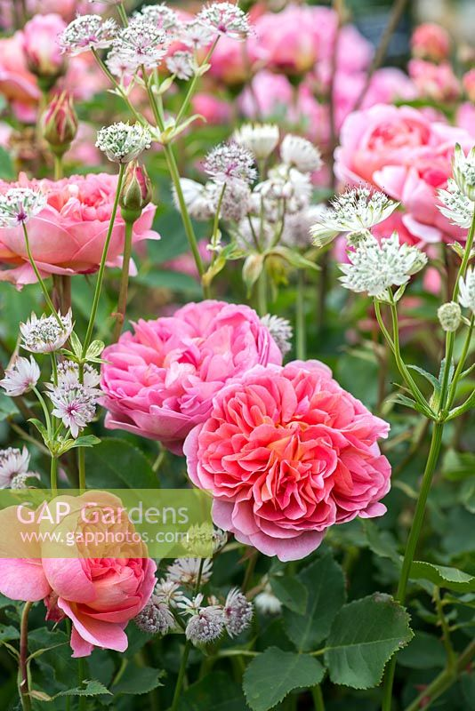 Rosa 'Boscobel' in shades of salmon pink with Astrantia major.