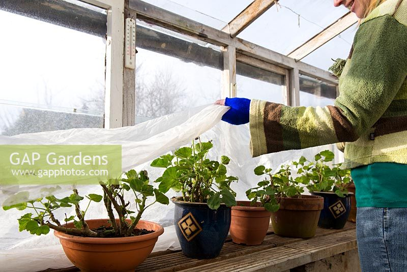 Woman gardener in unheated greenhouse covering pelargoniums with horticultural fleece prior to sharp overnight frost.