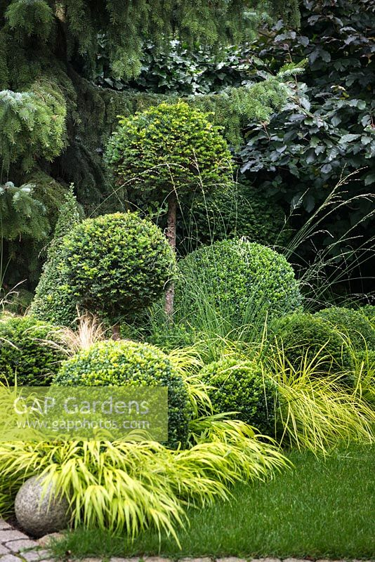 Clipped evergreen Buxus sempervirens and  Taxus baccata balls with Carex oshimensis 'Everillo', Hakonechloa macra 'All Gold', Molinia caerulea, Fagus sylvatica 'Riversii' and Picea omorika