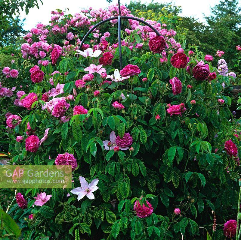 gap gardens an obelisk covered by rosa 39 charles de mills. Black Bedroom Furniture Sets. Home Design Ideas