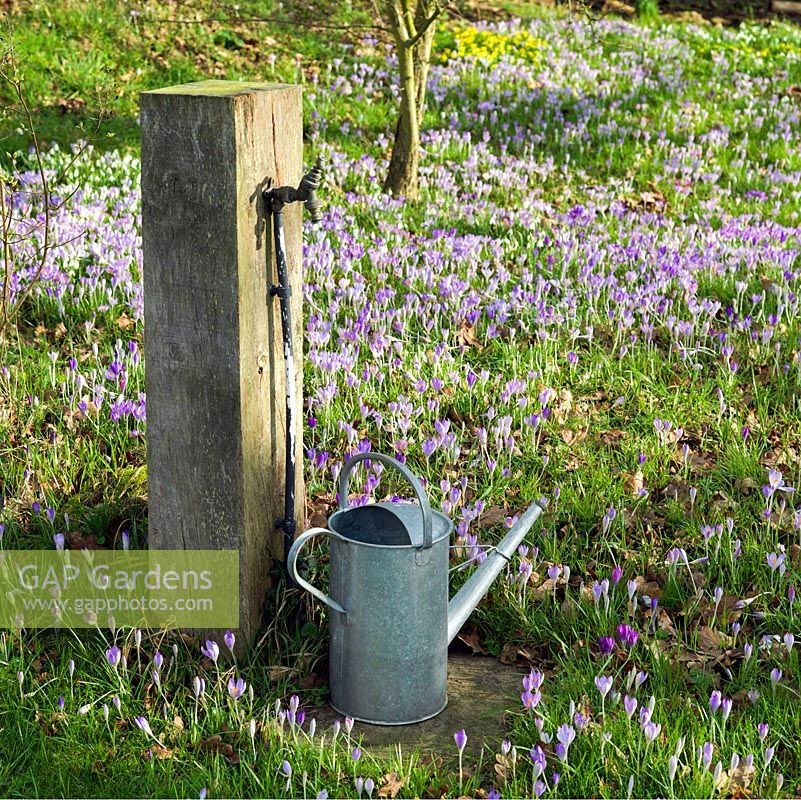 Tap mounted on old oak post and watering can stand on the verge of a carpet of Crocus tommasinianus and snowdrops thriving in deciduous woodland.