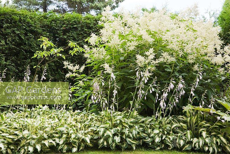 Gap Gardens Border With Hosta Plants And Persicaria Polymorpha