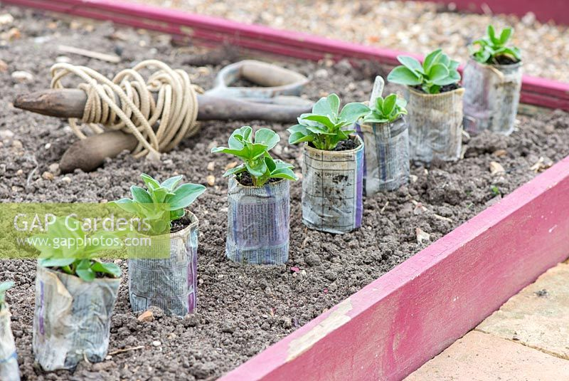 Broad bean plants, 'Greeny', grown in newspaper pots, ready for transplanting into raised beds.
