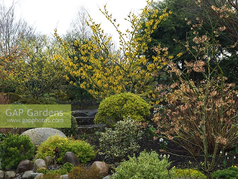 An attractive winter garden with structure provided by small conifers, topiarised evergreens and large smooth stones. Colour is provided by Hamamellis varieties Barmstedt Gold, Arnold's promise and Strawberries and Cream.
