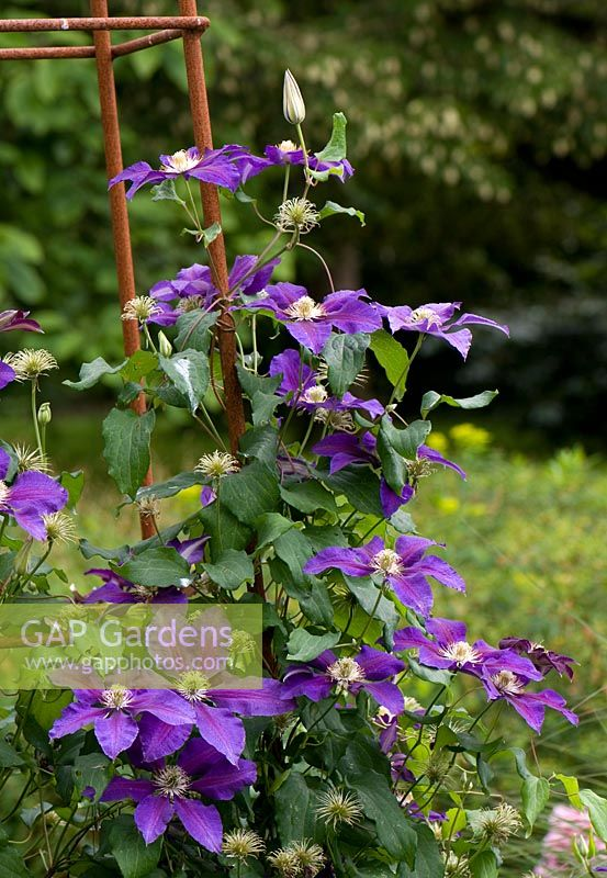 Clematis 'The Vagabond' climbing on metal obelisk