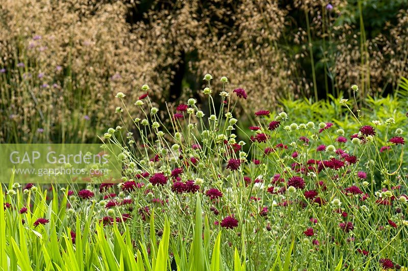 Knautia macedonica with Stipa gigantea. Sir Harold Hillier Gardens, UK.