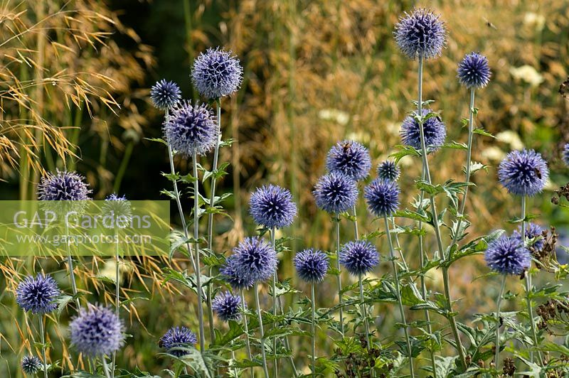 Echinops ritro 'Veitch's Blue' planted with Stipa gigantea. Sir Harold Hillier Gardens, Hamsphire, UK