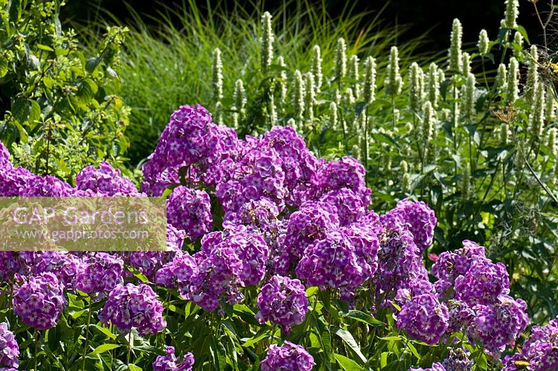 Phlox paniculata 'Laura' planted with Agastache urticifolia 'Alba' . Sir Harold Hillier Gardens, Hampshire, UK.
