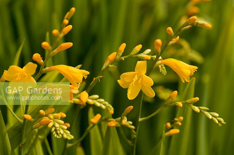 Crocosmia 'Golden Fleece'