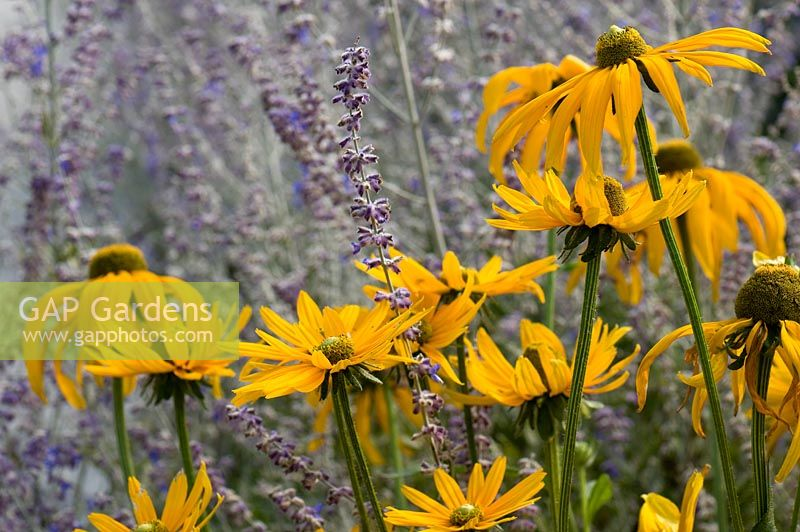 Rudbeckia hirta 'Irish Eyes' with Perovskia 'Blue Spire'. Sir Harold Hillier Gardens, UK.
