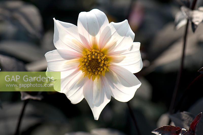 Dahlia 'Twynings After Eight'. Sir Harold Hillier Gardens, UK.
