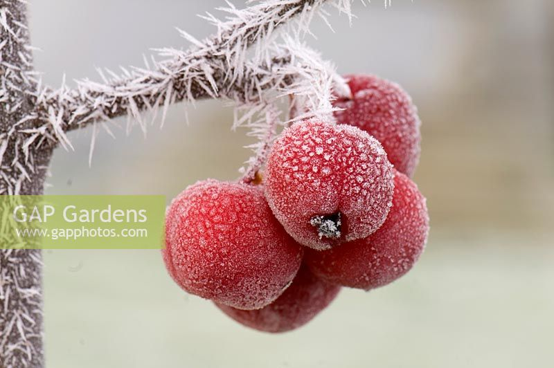 Malus 'Red Sentinel'- frosted crab apples
