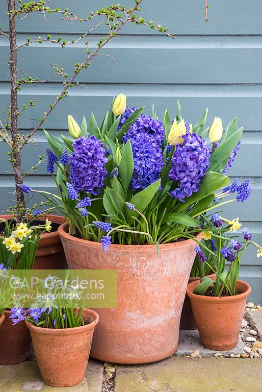 Multi layered bulb container with Muscari armeniacum, Hyacinthus orientalis 'Delft Blue' and Tulip 'Sunny Prince' in bloom