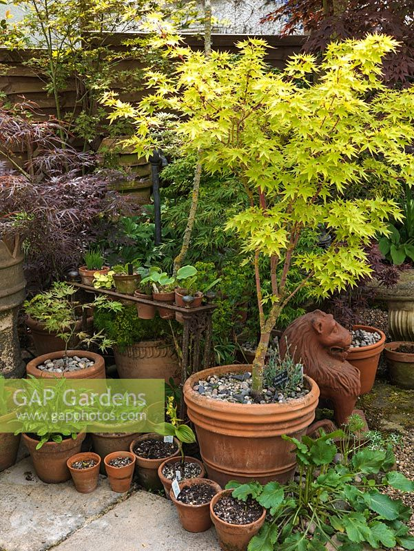 In small corner, collection of hostas and maples in pots, some in old iron umbrella stand turned pot holder. Acer palmatum Sango-kaku in big pot.