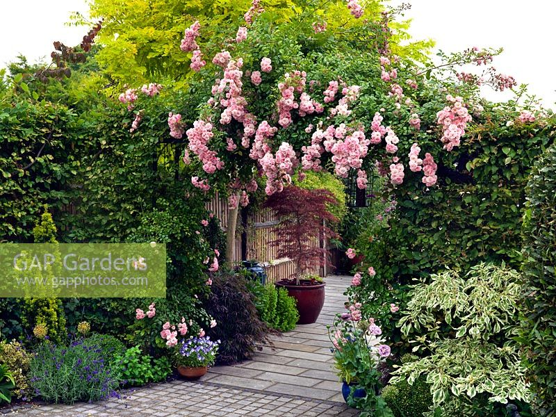 Rosa Maid of Kent, a repeat flowering floribunda rose, grows over an arch at the entrance to a contemporary paved front garden.