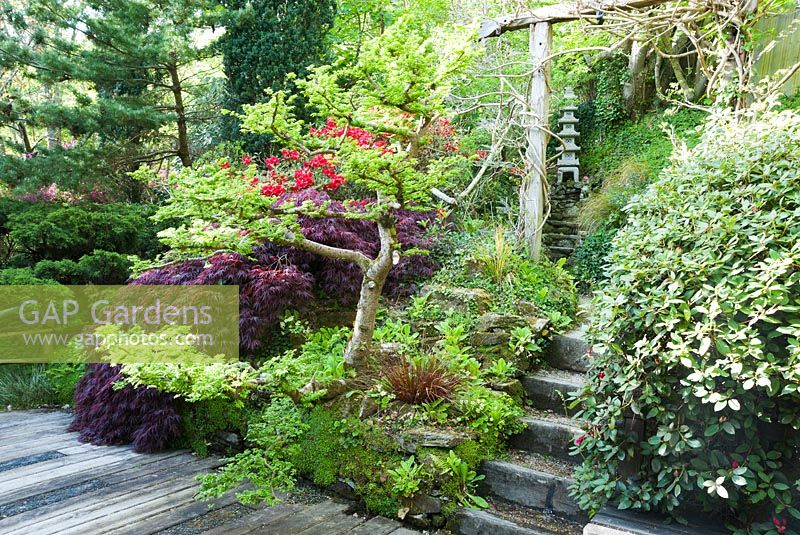 Pretty Gap Gardens  Cloud Pruned Elm Ulmus X Hollandica Jacqueline  With Magnificent  Hillier Alongside Dark Acer And Red Rhododendron Around Decking From  Which Steps Lead Framed By Timber Archway Supporting Wisteria The Japanese  Garden  With Comely Rustic Garden Tables Also Garden Hose In Addition Antrim Garden Show And Garden Folding Table As Well As Hilton Garden Inn Orlando International Drive North Additionally Recessed Garden Wall Lights From Gapphotoscom With   Magnificent Gap Gardens  Cloud Pruned Elm Ulmus X Hollandica Jacqueline  With Comely  Hillier Alongside Dark Acer And Red Rhododendron Around Decking From  Which Steps Lead Framed By Timber Archway Supporting Wisteria The Japanese  Garden  And Pretty Rustic Garden Tables Also Garden Hose In Addition Antrim Garden Show From Gapphotoscom