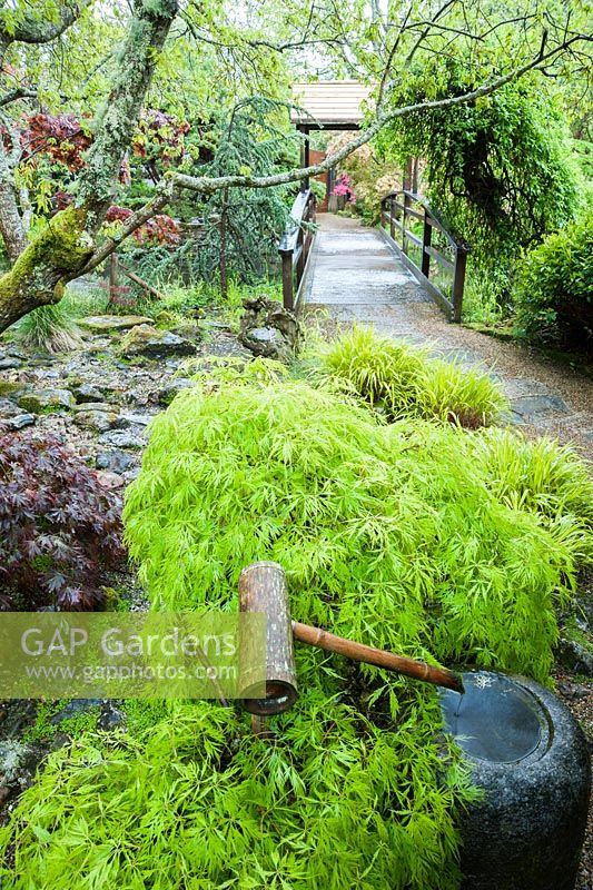 Water Basin With Bamboo Spout Surrounded By Fresh New Acer Foliage. The Japanese  Garden And