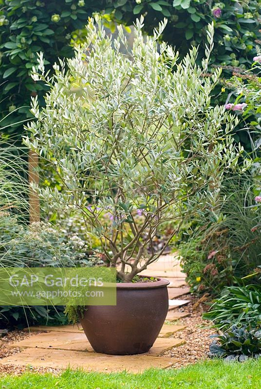 Olea Europaea Olive Tree In Container