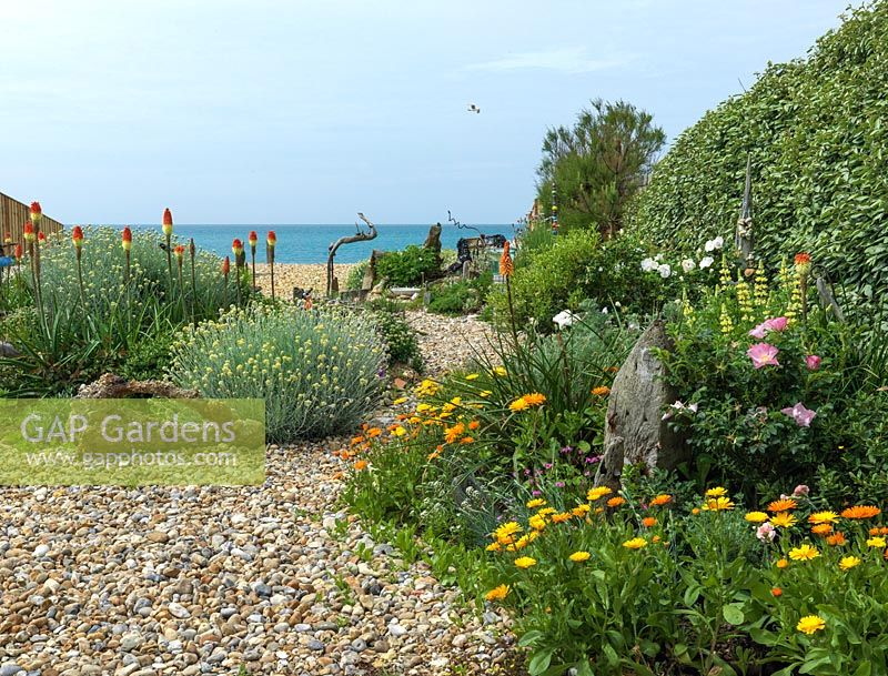 An exposed seaside garden laid to shingle, with raised island beds. Planting includes Helichrysum italicum, Briza maxima, Kniphofia 'Atlanta', marigolds, tree lupin and a shelter belt hedge of Elaeagnus ebbingei.