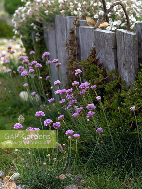 Gap gardens armeria maritima sea pinks beside raised bed armeria maritima sea pinks beside raised bed mightylinksfo