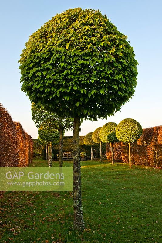 Carpinus betulus - Hornbeam lollipop topiary walk, beech hedges and lawn.