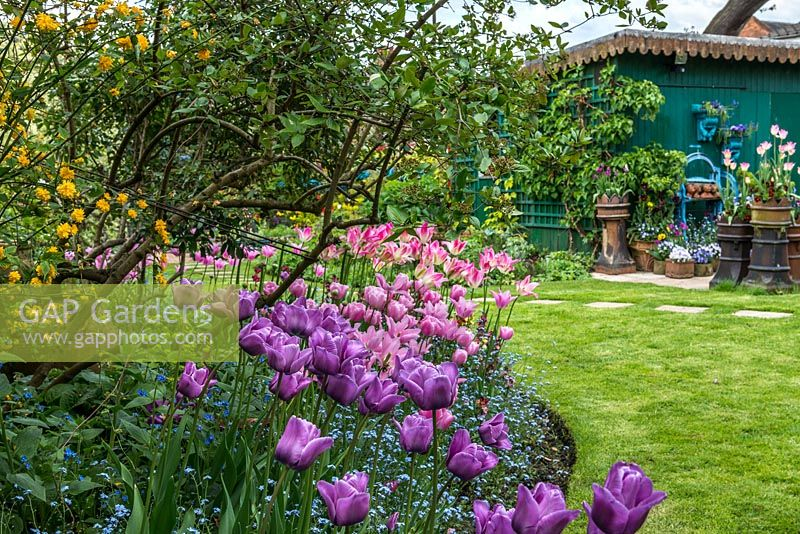 A spring border with Tulipa 'Blue Aimable', 'Esther', 'Florosa' and 'China Pink' underplanted with forget-me-nots and stocks.
