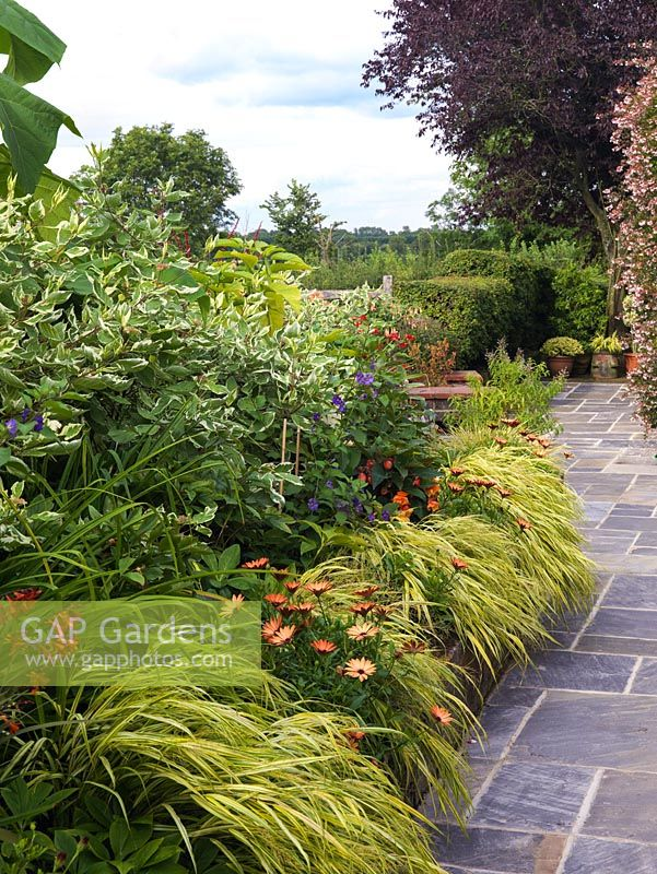 Stone path runs beside raised bed of Hakonechloa macra 'Aureola' and osteospermum, shoo-fly plant, dogwood and dahlias.