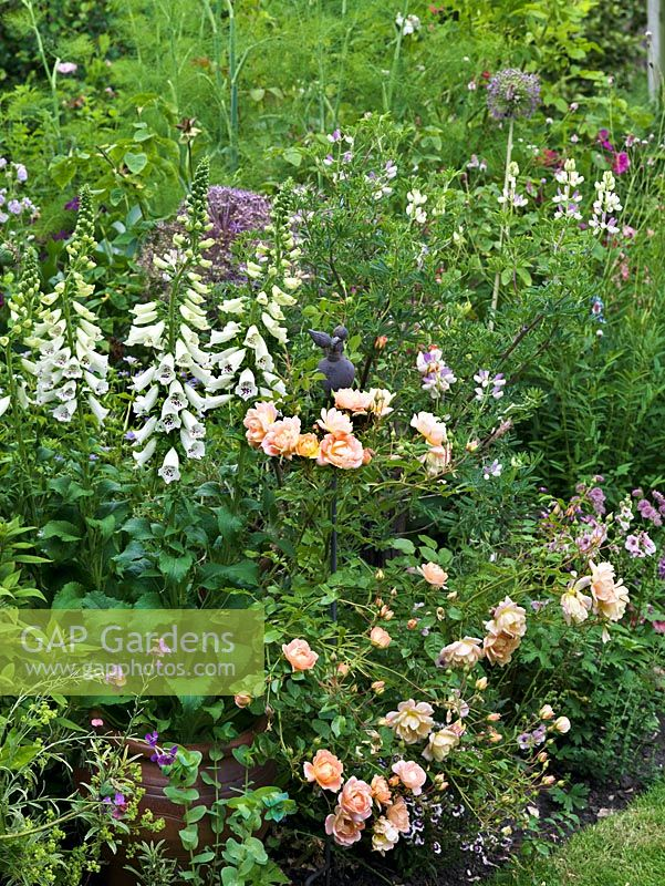 A Mixed Summer Border Of Cottage Garden Plants Including Roses White Foxgloves Alliums And