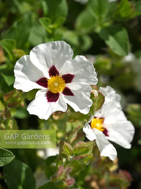 Cistus 'Snow Fire' AGM - Rock rose