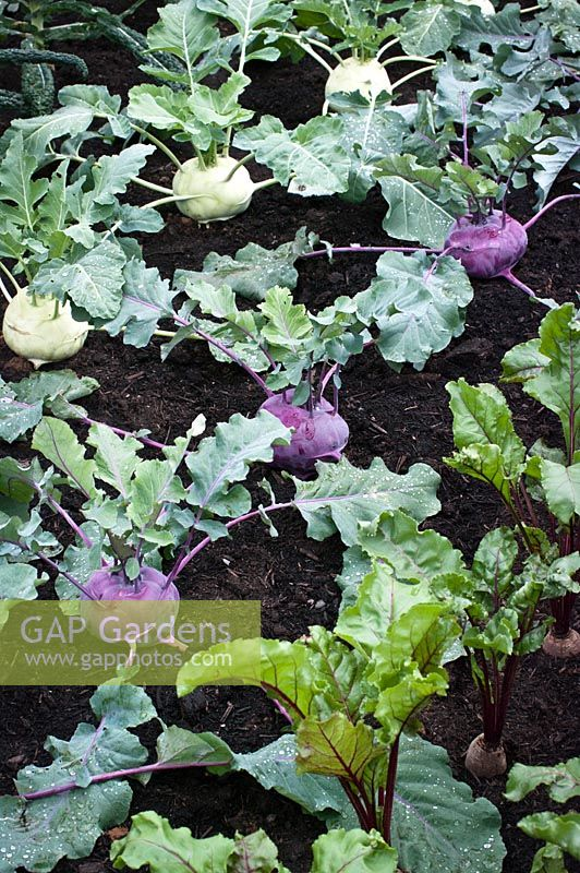 Rows of Kohlrabi and Beetroots in the Britain in Bloom garden, RHS Hampton Court Palace Flower Show 2014