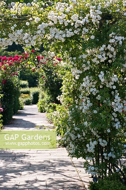 Rosa 'Sander's White Rambler' trained on a pergola in The Queen Mother's Rose Garden at RHS Rosemoor, Devon